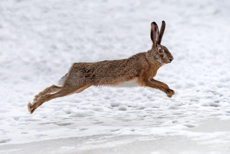 Haas loopt op het winterveld royalty-vrije stock fotografie