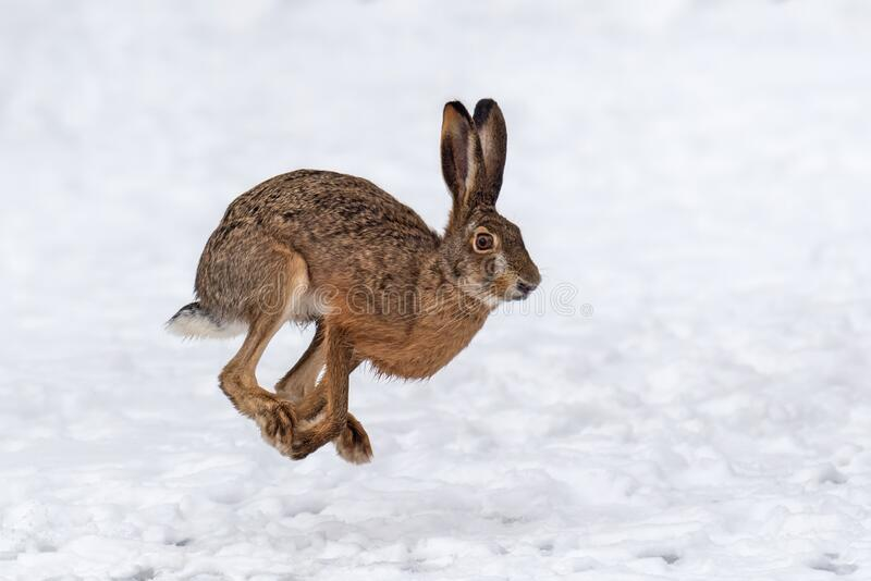 Haas loopt op het winterveld royalty-vrije stock foto
