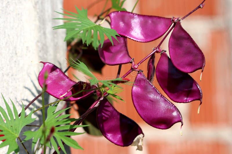 Haba de jacinto o vid de florecimiento del purpureus del lablab con las vainas de haba oscuras múltiples de la lila rodeadas con  imagen de archivo libre de regalías
