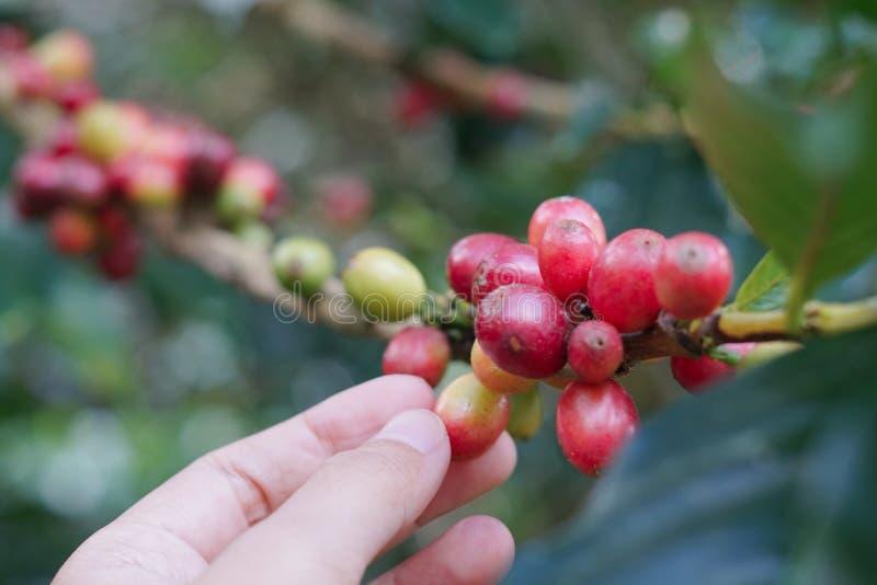 Haba de las bayas de café en cafeto con la mano imagen de archivo libre de regalías