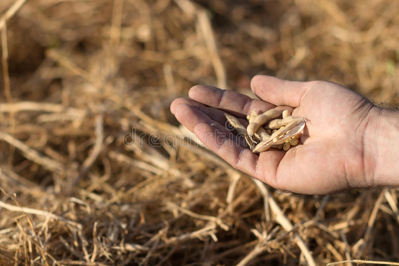 Haba lista de la soja de la cosecha Mano que sostiene la soja imagenes de archivo