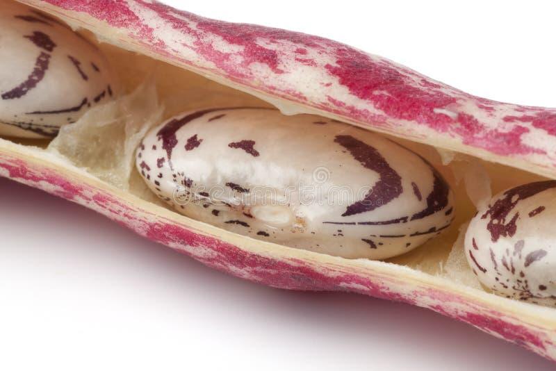 Habas de Borlotti en el shell imagen de archivo