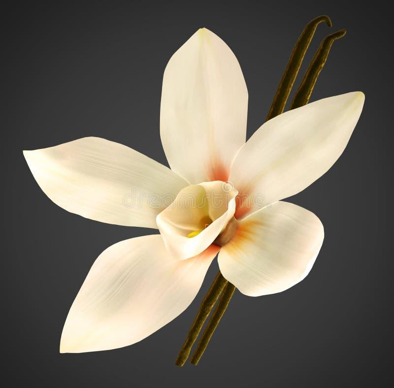 Habas de la orquídea y de vainilla con el camino de recortes foto de archivo libre de regalías