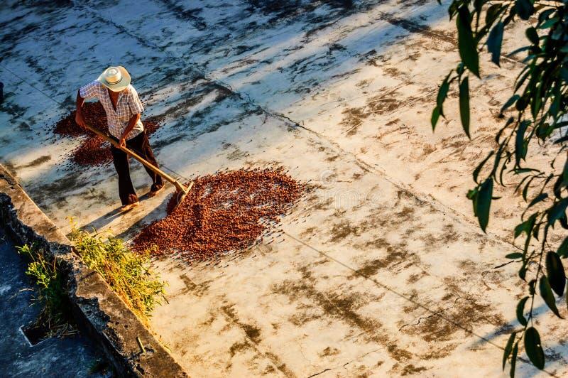 Habas de sequía del cacao en Guatemala fotografía de archivo libre de regalías
