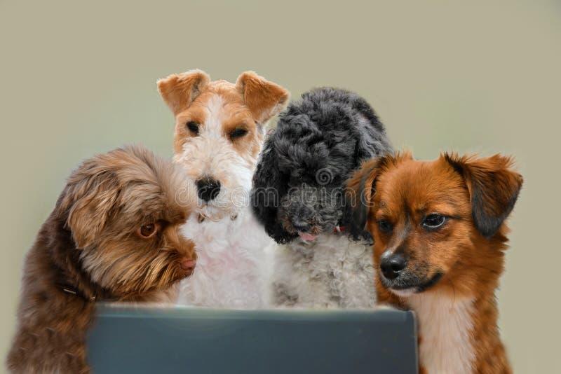 Habilidades del trabajo en equipo, grupo de perros que practican surf en Internet imágenes de archivo libres de regalías