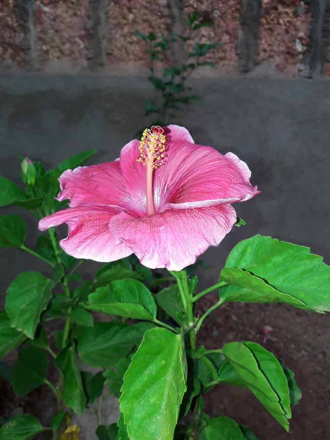 Habiscus Flower goan. Its a narkasur competition in goa which was held in the season of diwaali stock photography