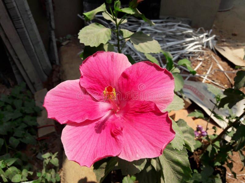 Habiscus3 goan的花 图库摄影