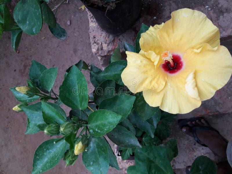 Habiscus2 kwiat goan obraz royalty free
