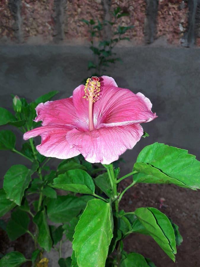 Habiscus kwiat goan fotografia stock