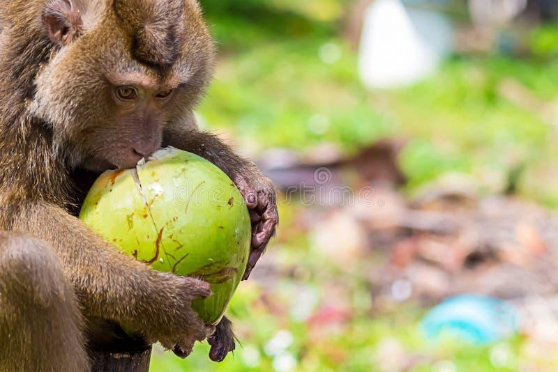 Habitante animal salvaje de cola larga del Macaque de los controles de la cangrejo-consumición de Asia Tailandia Taiwán en los em foto de archivo libre de regalías