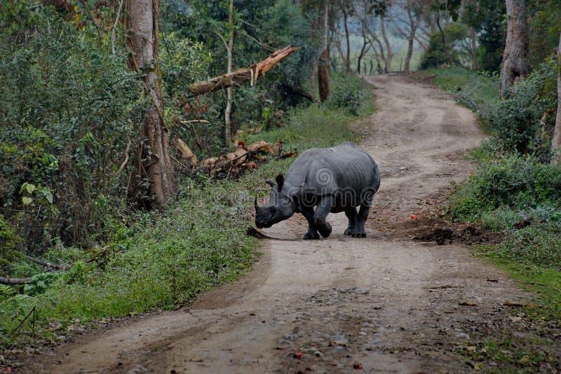 Habitantes do parque nacional de Kaziranga Rinoceronte branco fotos de stock