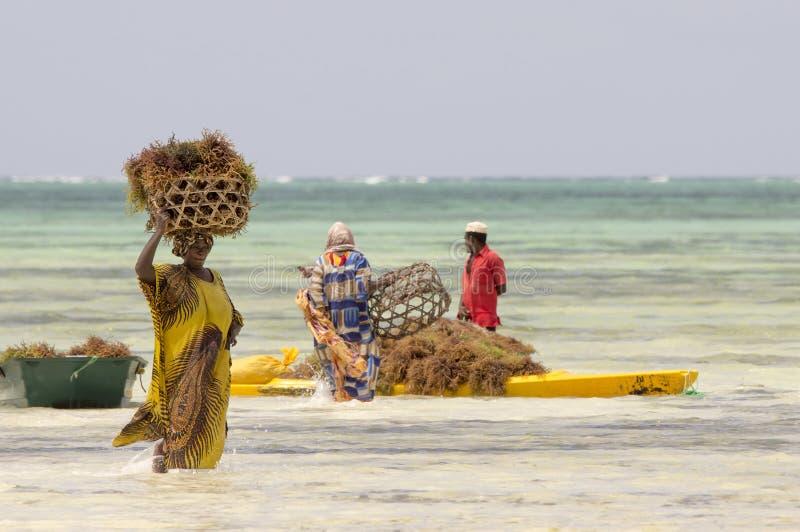 Habitants locaux de Zanzibar recueillant le varech photo stock