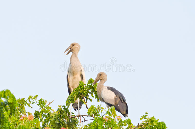 Download Habitat Of Asian Openbill Storks Stock Photo - Image: 24271310