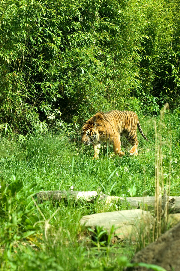 Habitat De Tigre Photo Stock Image Du Animal F Lin