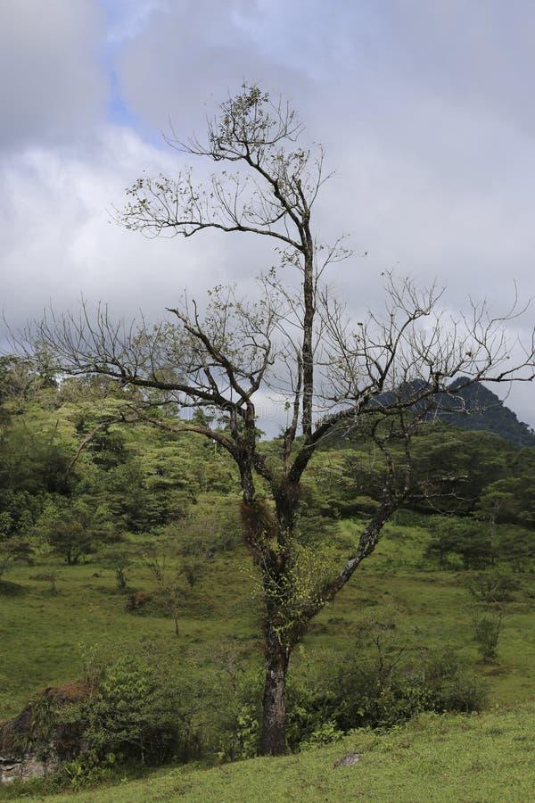 Habitatboom bij de natuurlijke reserve van het Massief van Peñas Blancas, Nicaragua stock foto