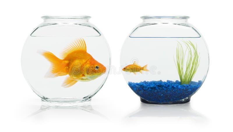 habitats de goldfish photos libres de droits