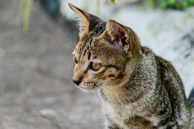 Habitudes de repos de chat mignon de la Thaïlande des animaux familiers mignons Le chat multiplie Thaila photos stock