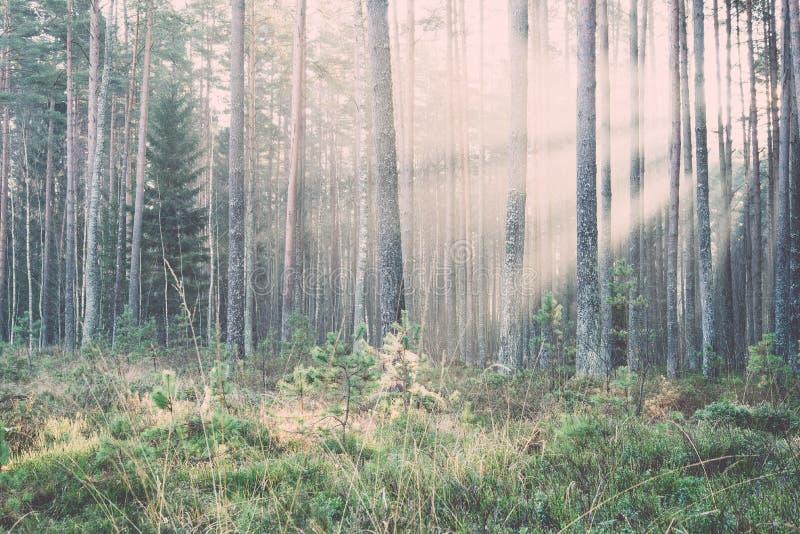 Haces luminosos hermosos en bosque a través de árboles vendimia imagenes de archivo