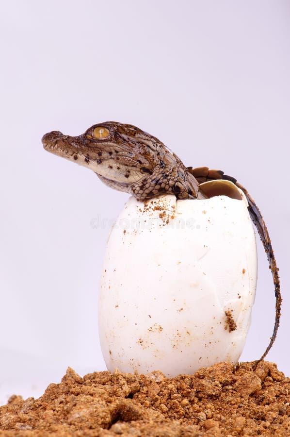 Hachure de crocodile photographie stock libre de droits