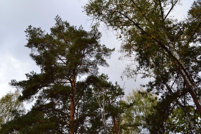 Hacia el cielo Forest Tress foto de archivo libre de regalías