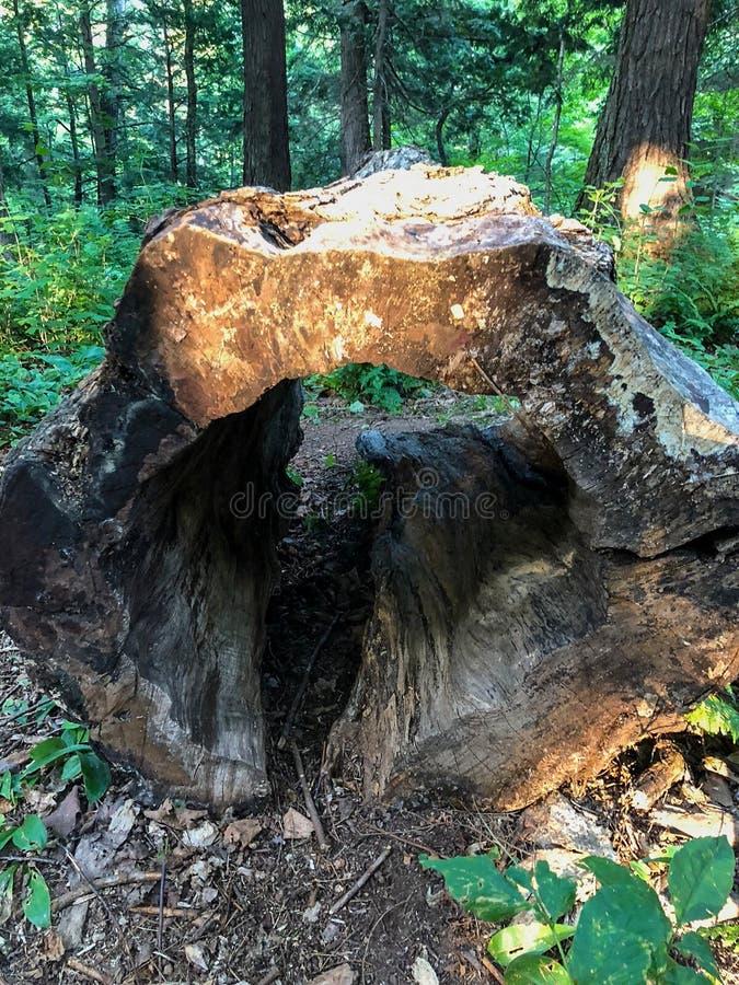 Hacia fuera ahuecado tocón de árbol en bosque foto de archivo