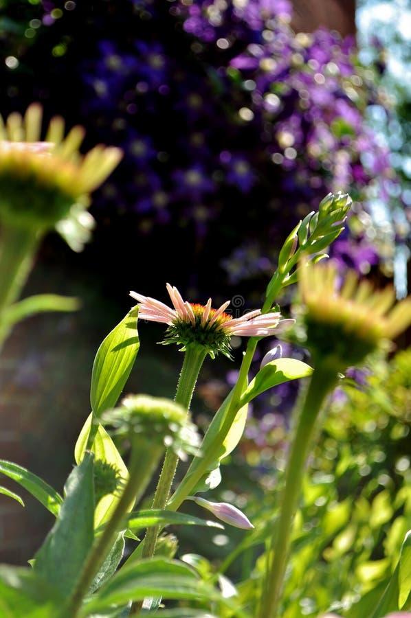 Hacia The Sun Mañana hermosa en el jardín imagenes de archivo