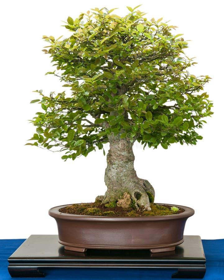 Hackberry (Zeltis chinensis) comme arbre de bonsaïs photos libres de droits