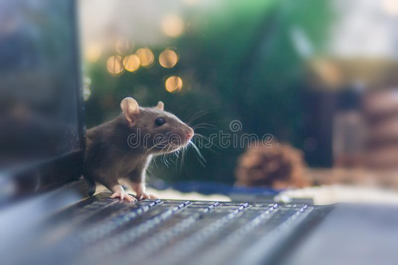 Hacker attack. Mouse black. symbol of the new Chinese year 2020. Home decorative rat. mouse on the computer keyboard stock photos