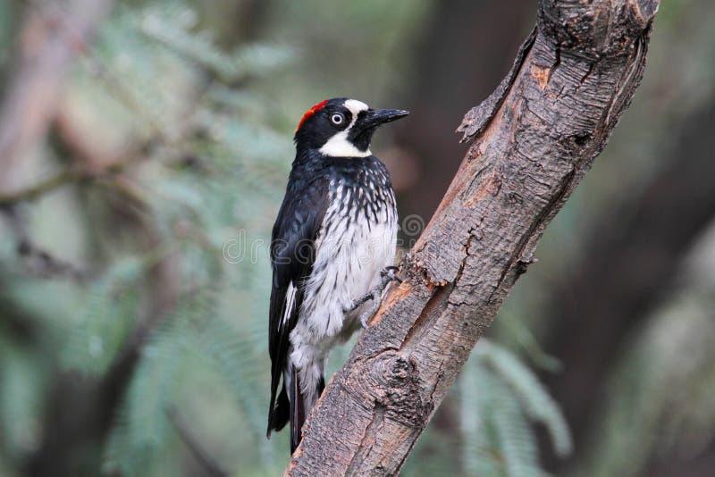 hackspett för stubbe för jordnöt för melanerpes för ekollonfågelformicivorus fotografering för bildbyråer