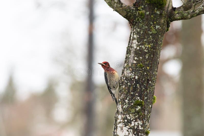 Hackspett med ett rött huvud på ett gammalt träd arkivbild