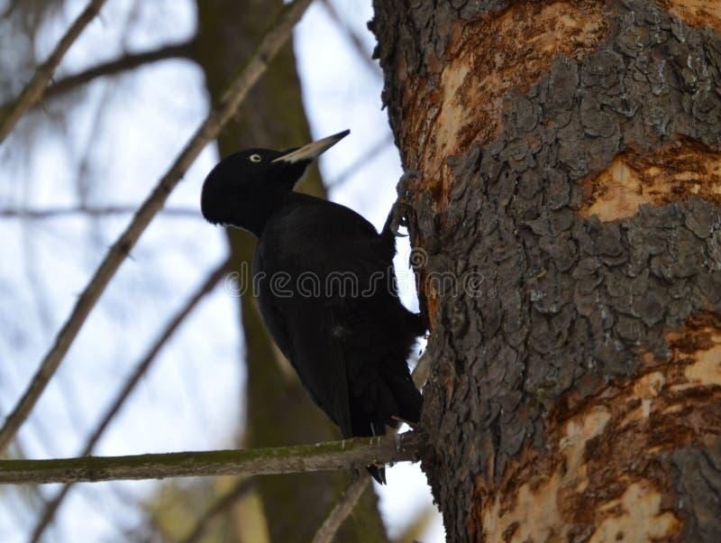 Hackspett på en tree royaltyfria foton