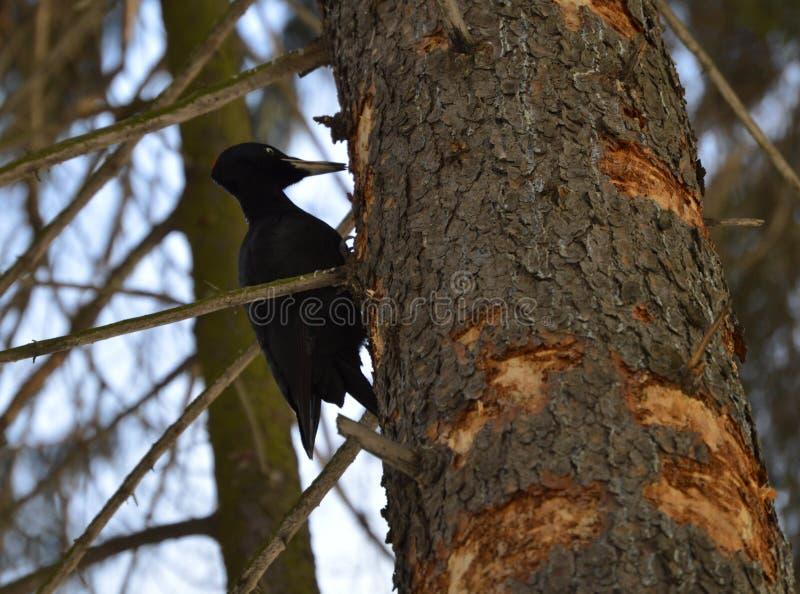 Hackspett på en tree royaltyfri bild