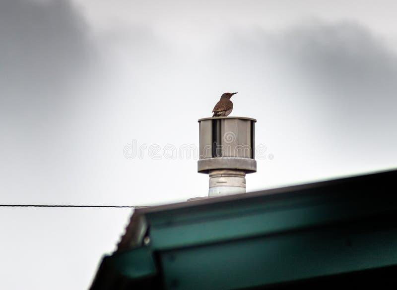 Hackspett på ett hem- taklufthål royaltyfri bild