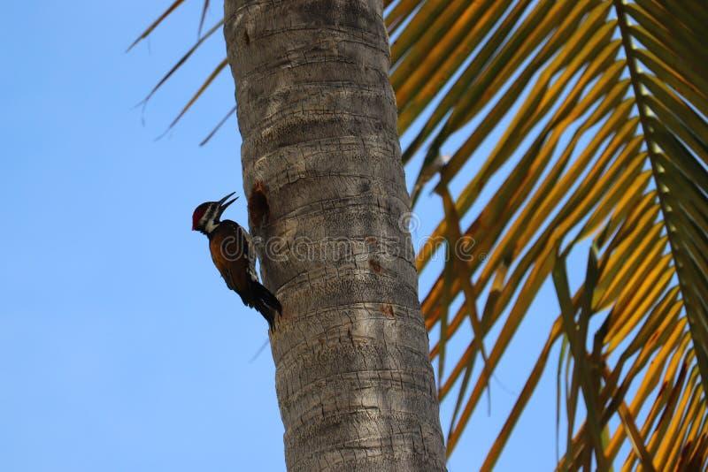 Hackspett som pickar ett träd, hackspettfågel royaltyfria foton