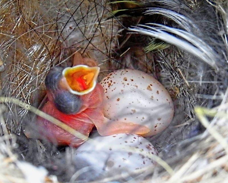Hada magnífica Wren Chick y 2 huevos imagen de archivo libre de regalías