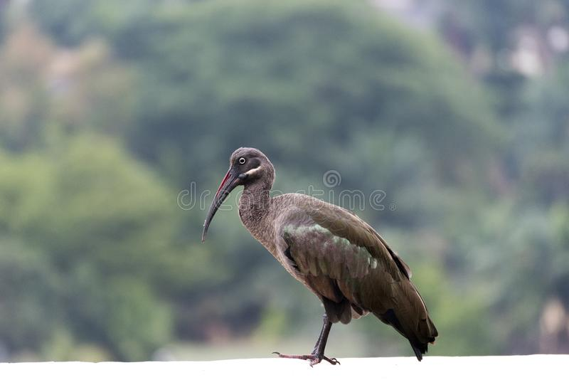 hadeda ibis bostrychia hagedash stockfoto bild von ibis. Black Bedroom Furniture Sets. Home Design Ideas