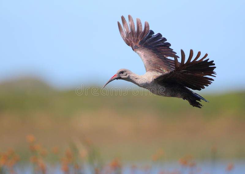 hadeda ibis royaltyfria foton