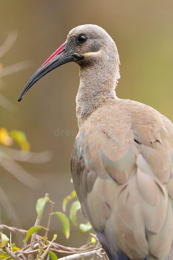 Free Hadeda Ibis (Bostrychia Hagedash) Royalty Free Stock Image - 21605546