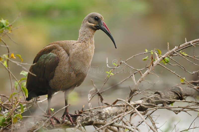 Hadeda Ibis (Bostrychia hagedash) stock photography