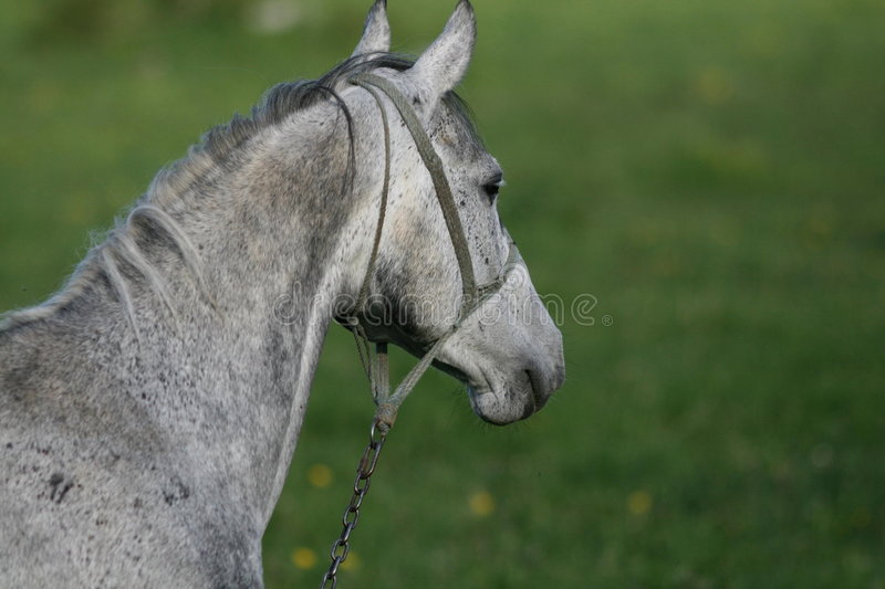 Download Haed Of Gray Horse stock image. Image of tied, chain, domestic - 9311287