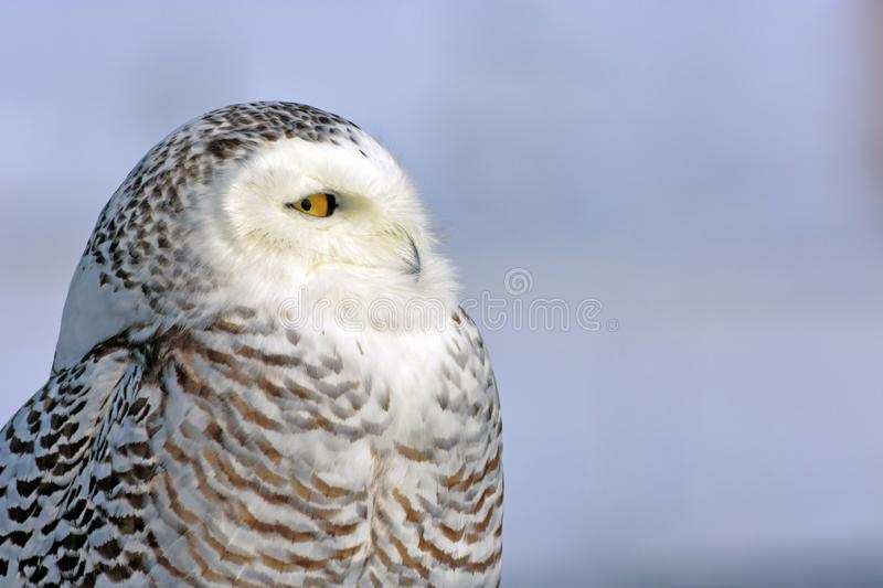 Haed of young adult Snowy Owl with beautiful yellow eyes. Close up Portrait of wild Snowy Owl , against a blue sky background. Nyctea scandiaca stock photos