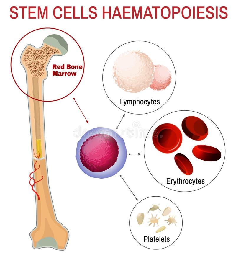 Haematopoiesis das células estaminais do sangue ilustração royalty free