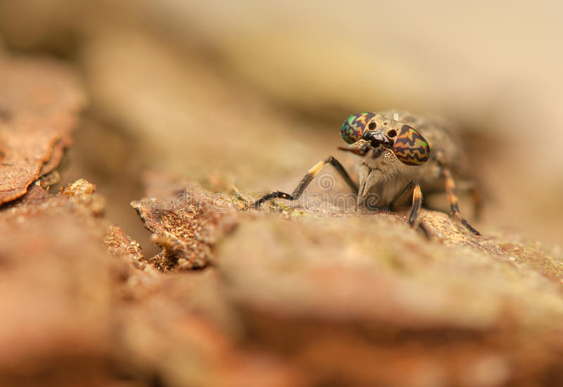 Haematopota pluvialis zdjęcie royalty free