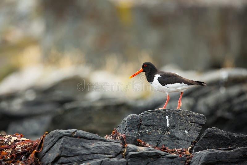 Haematopus ostralegus Runde wyspa Norwegia przyroda pi?kny obrazek Od ?ycia ptaki wolna od natury Runde wyspa w ?adny fotografia royalty free