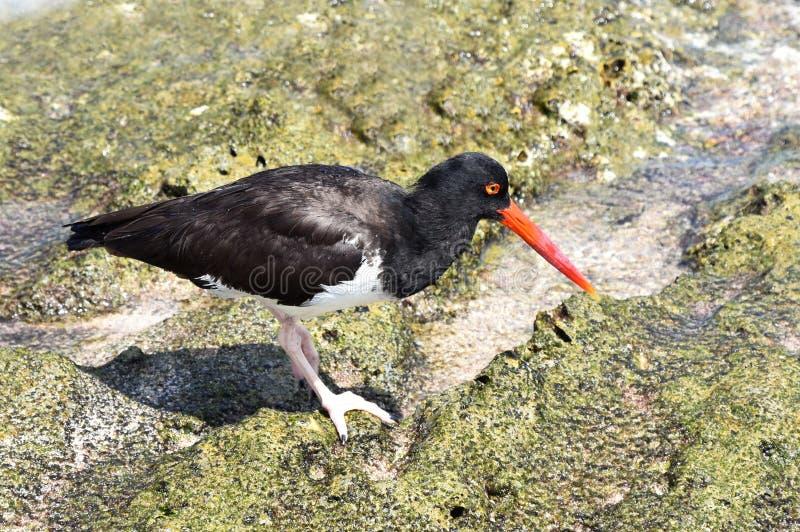 Haematopus palliatus American oystercatcher bird stock photography