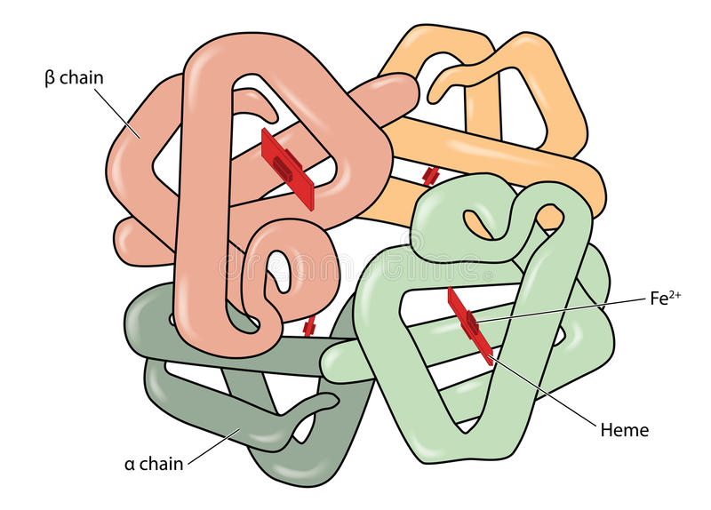 Haemoglobin molecule. Structure of the haemoglobin (hemoglobin) molecule showing alpha and beta chains, heme groups and iron atoms. Created in Adobe Illustrator vector illustration