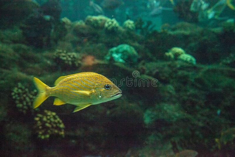 Haemulon flavolineatum francese del pesce di grugnito con gli occhi azzurri luminosi fotografia stock
