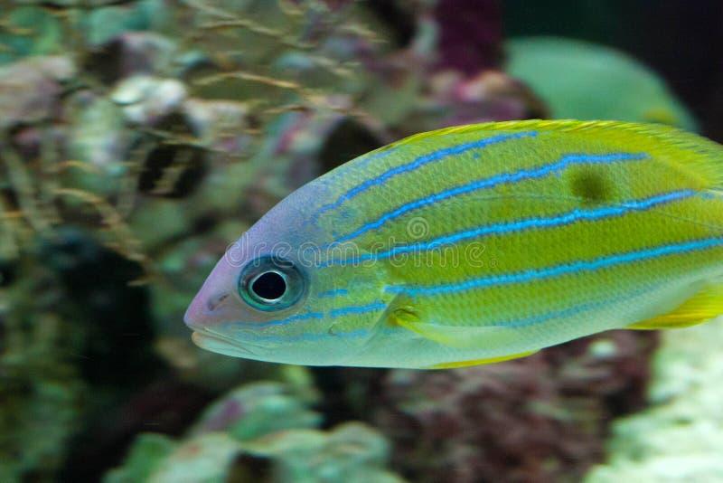 Haemulon flavolineatum francese del pesce di grugnito fotografia stock