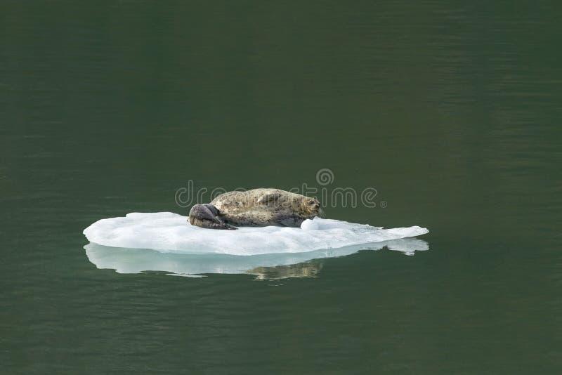 Hafen-Dichtung mit Baby auf Eisberg in Tracy Arm Alaska lizenzfreie stockfotografie