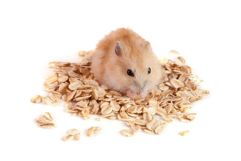 Hafer blättert mit einem Hamster ab, der auf weißem Hintergrund lokalisiert wird lizenzfreie stockfotografie